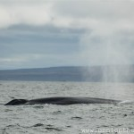 Whale watching photography tips blue whale sufacing